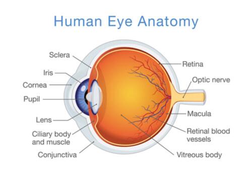 Retina Anatomy Eye Care Specialists